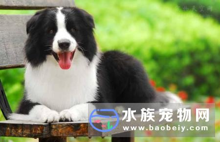 边境牧羊犬BorderCollie:在世界犬种智商排行第一名