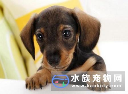 狗狗对谷类食物过敏,最好立即停止给狗狗喂狗粮,否则后果严重!
