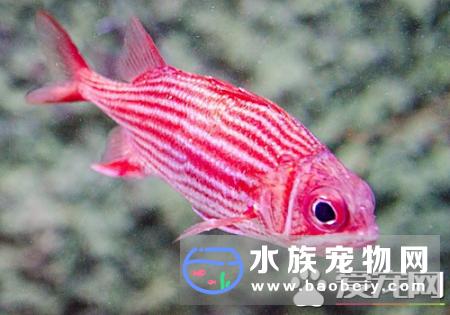 怎么养好热带鱼 初养热带鱼首选孔雀鱼