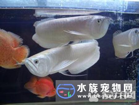 银龙鱼什么样的好养殖个体中也有少数全身白化的所谓白金色银带