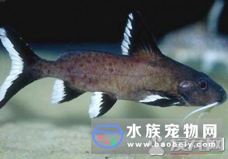 鲶鱼生活在什么地方如今观赏鱼饲养越来越频繁