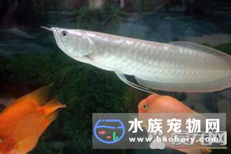 银龙鱼喂什么好 喂食都要保证食物的清洁