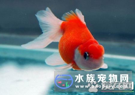 金鱼爱吃什么 了解金鱼最喜欢吃的食物