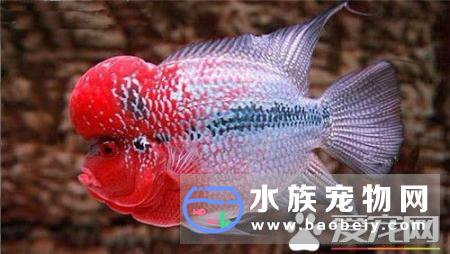 罗汉鱼是热带鱼吗 罗汉鱼是热带鱼的一种