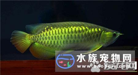 金龙鱼是热带鱼吗 金龙鱼是热带鱼的一种