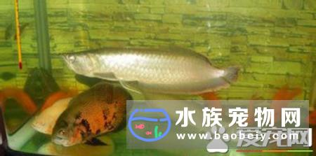 世界最大银龙鱼有多少斤?