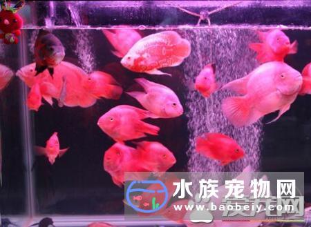 财神鱼怎么能养红 避免它们受到惊吓