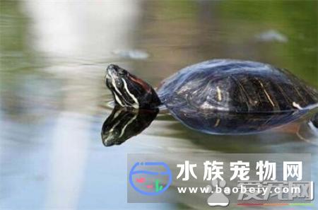 乌龟的生殖器是怎样交配的?