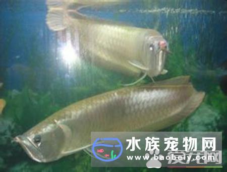 银龙鱼有多少种 银龙鱼是龙鱼的一个品种