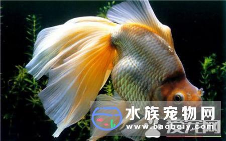 家庭金鱼怎么养,人们的生活水平越来越高了