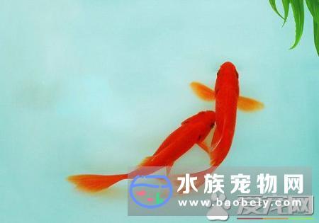 金鱼如何交配什么时候交配