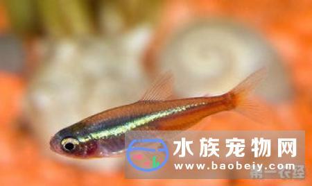 中型热带鱼有哪些,我们可以看到在饲养