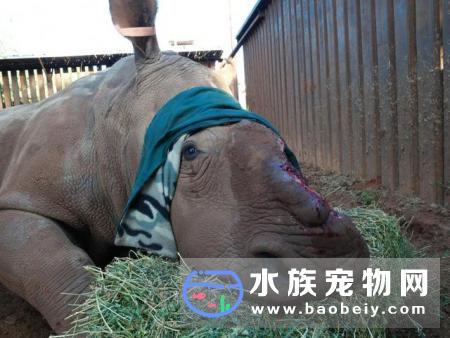 犀牛被揭去头盖骨后努力活下来,人类究竟要做到什么地步