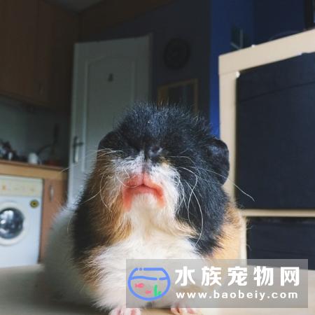 荷兰猪吃草莓的注意事项