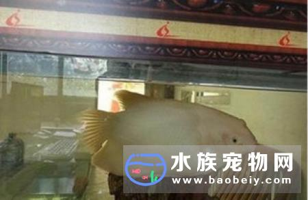 红眼招财鱼怎么养_宠物频道