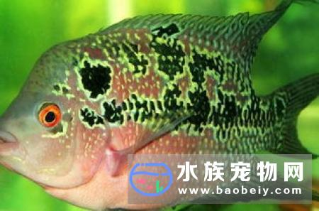 大型热带鱼中型大型的也分很多种,要看你的缸多大才行