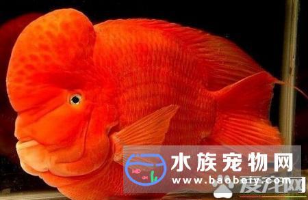 财神鱼喂什么 带你了解财神鱼的饮食