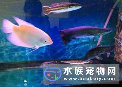 招财鱼的养法 带你了解招财鱼的正确饲养