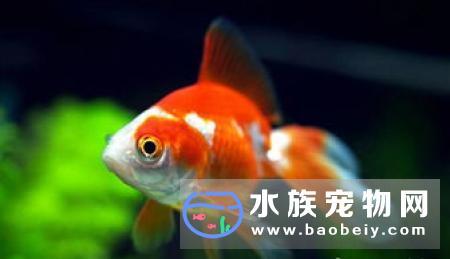 金鱼为什么养不大 这和你的饲养方式有关